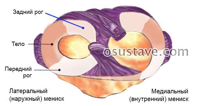 передний рог, тело и задний рог мениска