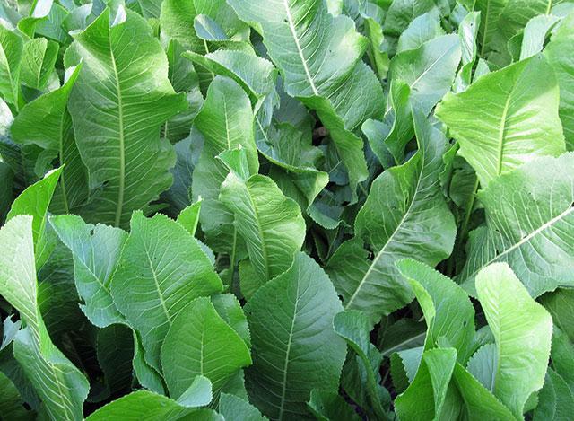 листья хрена обыкновенного