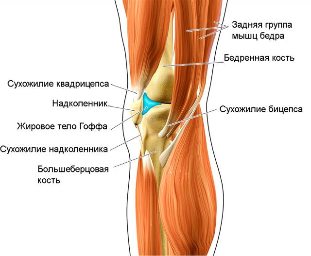 локализация жирового тела Гоффа в коленном суставе