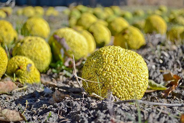 плоды маклюры желтого цвета на земле