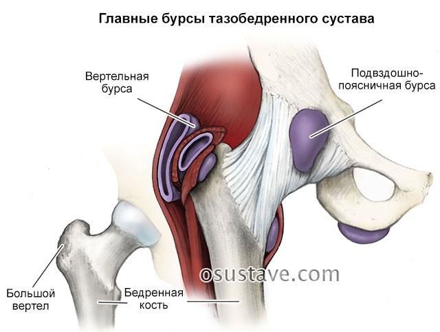 главные бурсы тазобедренного сустава