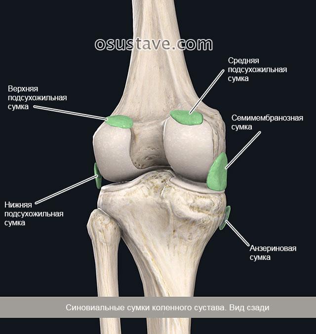 синовиальные сумки коленного сустава. Вид сзади