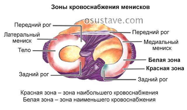 задние рога менисков, их зоны кровоснабжения