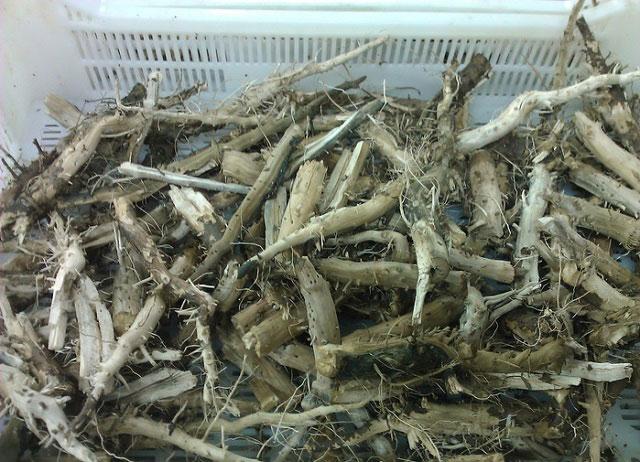 корни подсолнуха