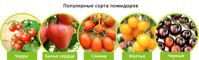 разновидности сортов помидоров