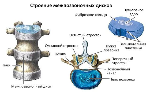 строение межпозвоночных дисков