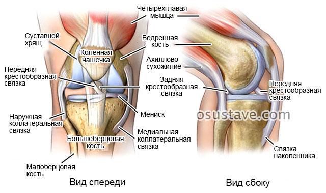 строение коленного сустава, прилегающих связок и хрящей