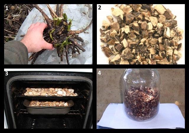 процесс заготовки корней окопника