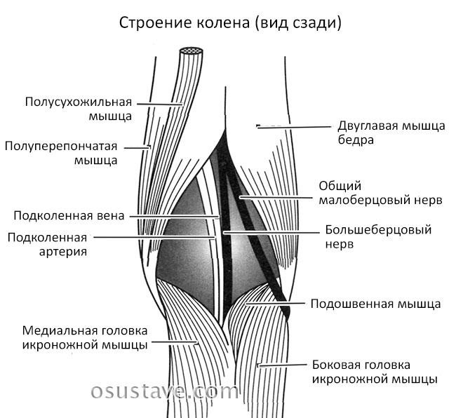 строение колена, вид сзади