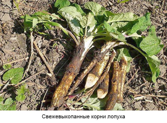 свежевыкопанные корни лопуха