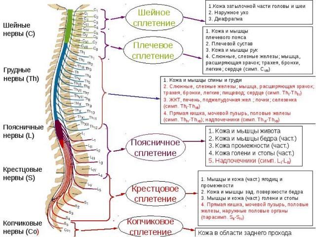 сплетения спинномозговых нервов и области, которые они иннервируют