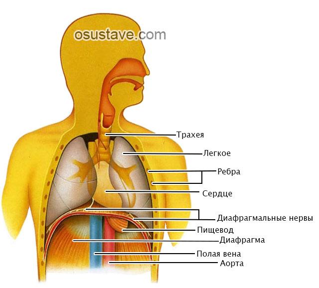 расположение диафрагмы