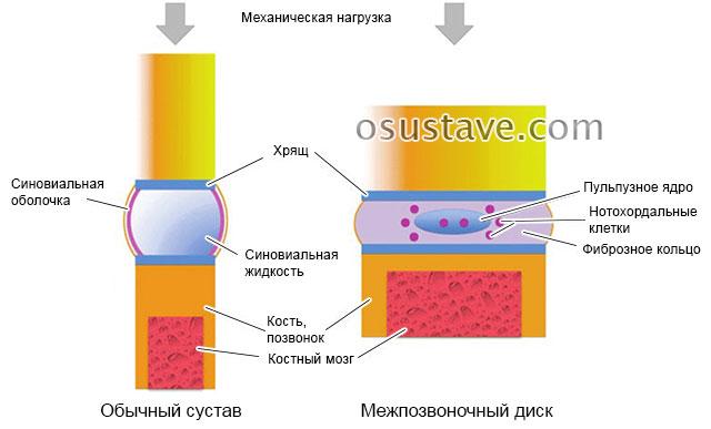 строение сустава и позвоночника, воздействие нагрузки