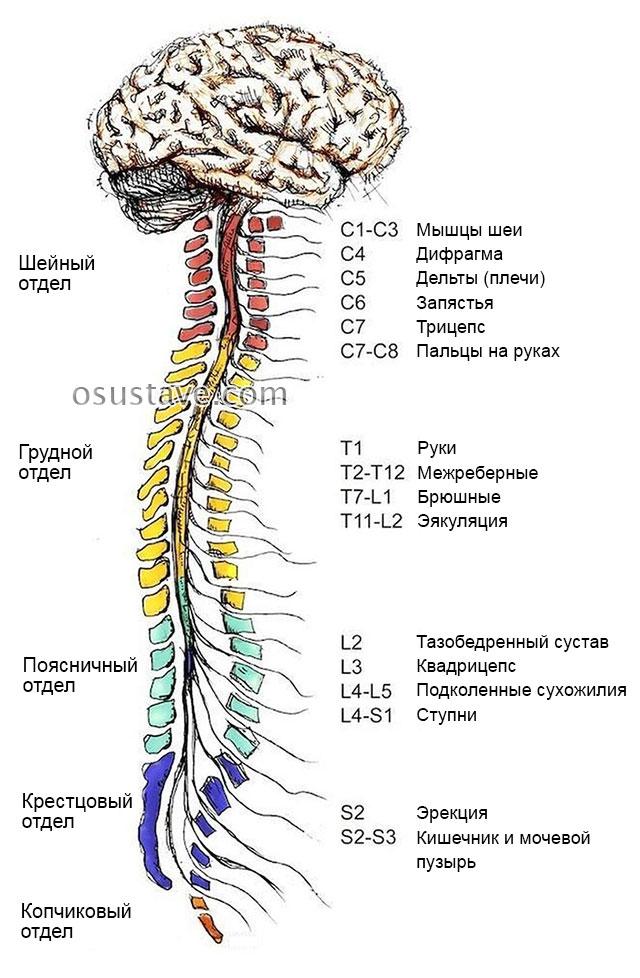 отделы позвоночника и нервы позвонков